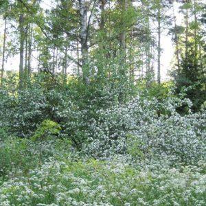 Место где была финская деревня. В лесу цветут яблони