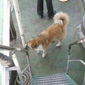 Очень злющая собака, живущая на судне