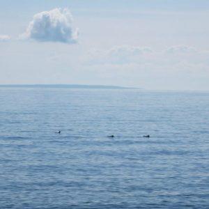 Гагары в море