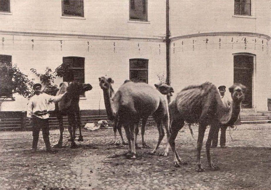 Верблюды на дворе лаборатории для заготовки противобубоночумных препаратов на форте «Император Александр I», Кронштадт
